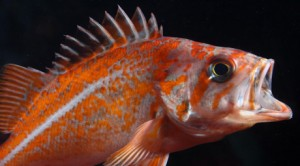Image of a fish (vermilion rockfish)